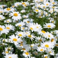 Oy-Eye Daisy 1000 Seeds,Wild flower - statement of the flower meadow